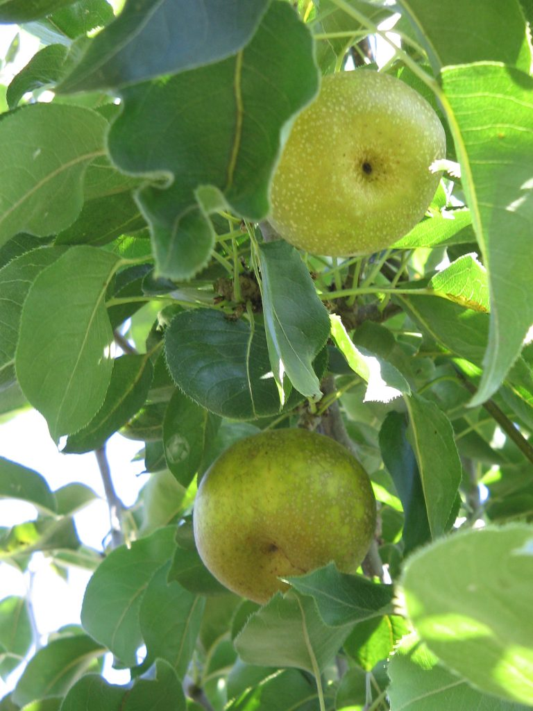 Overrun with Asian Pears