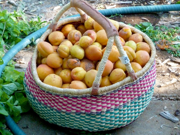 One of the three harvest baskets full of apricots