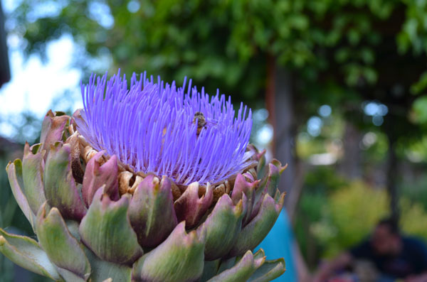 Artichokes in full summer bloom