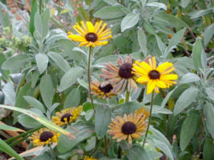 Flowering Rudbeckia in late summer. Lamb's Ear foliage in the background.