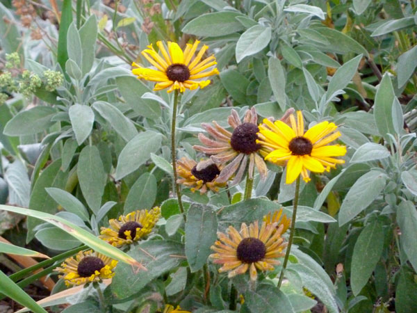 Flowering Rudbeckia and lush sage in late summer