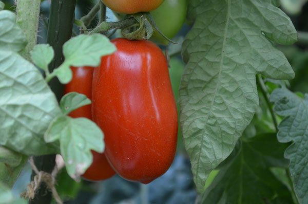 San Marzano sauce tomatoes are perfect for fresh tomato soup