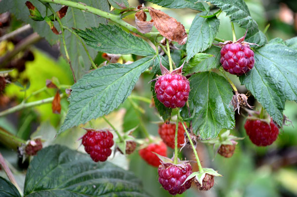 Raspberries in September