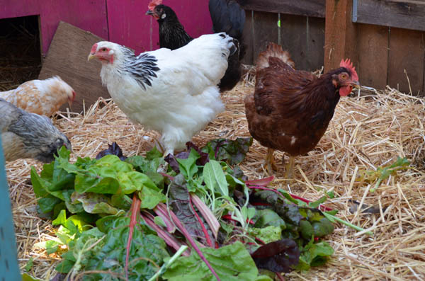 chickens-winter-veggies
