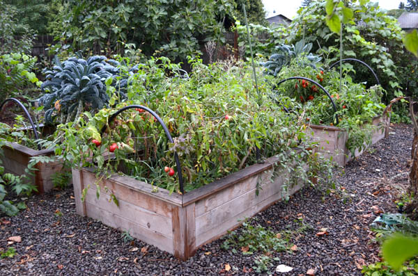 Fall vegetable beds, still producing late season tomatoes