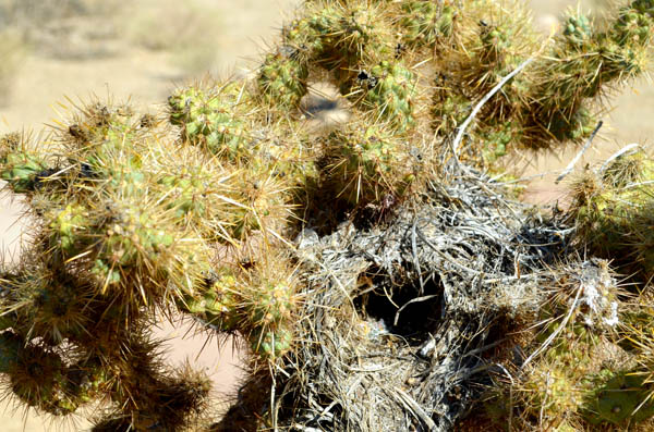 joshua-tree-nest