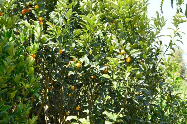 kumquat-tree