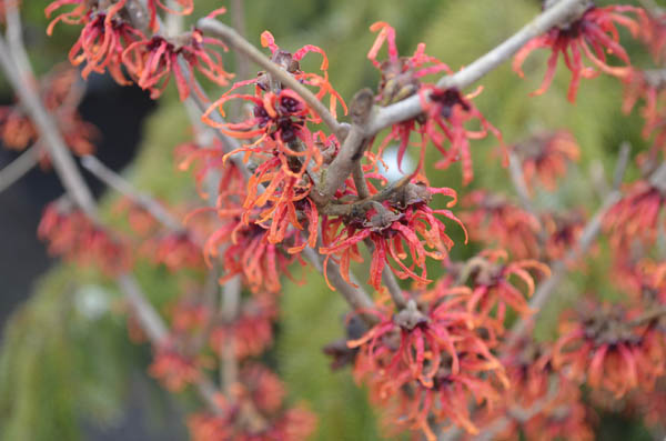 winter-witchhazel