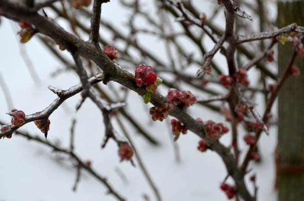 snowy-quince