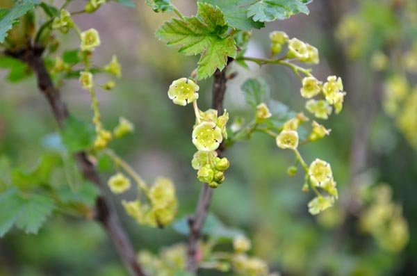 currant-flowers