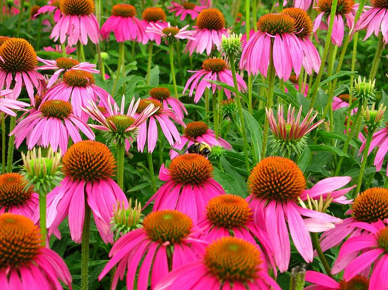 799px-Echinacea_purpurea_with_Bumble-bee