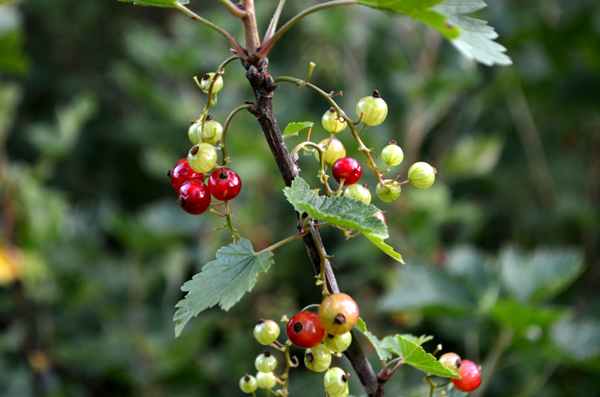 red-currants