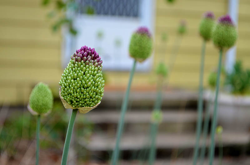 front-yard-allium