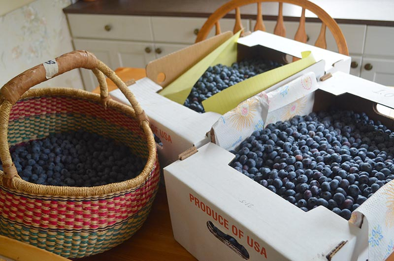 blueberries-50-pounds