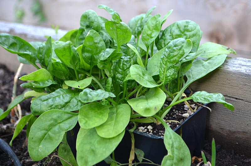 winter-planting-spinach