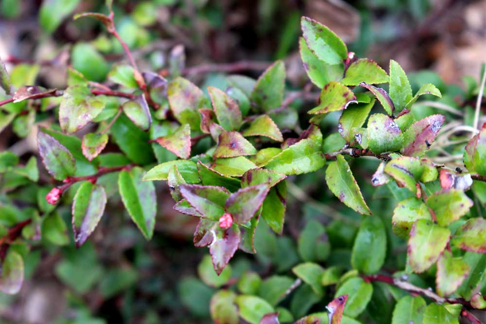 evergreen-huckleberry-leaves