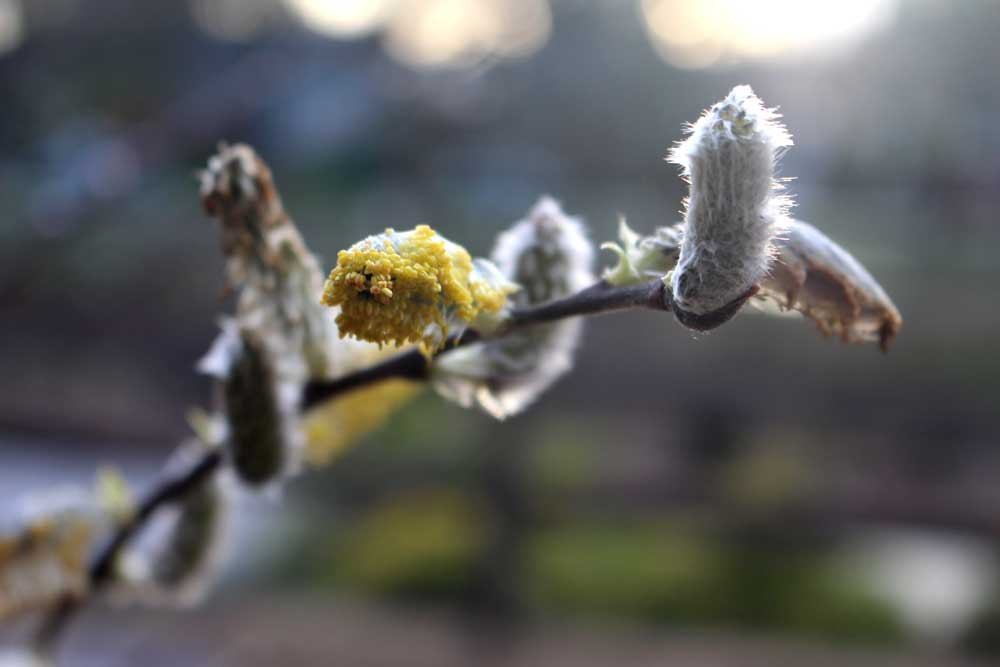 march-willow-buds